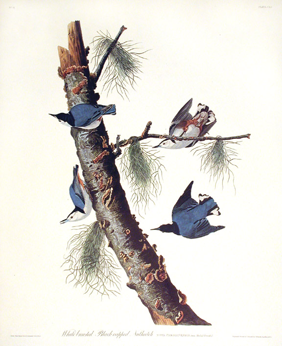 "White-breasted Black-capped Nuthatch. From ""The Birds of America"" (Amsterdam Edition). John James AUDUBON."