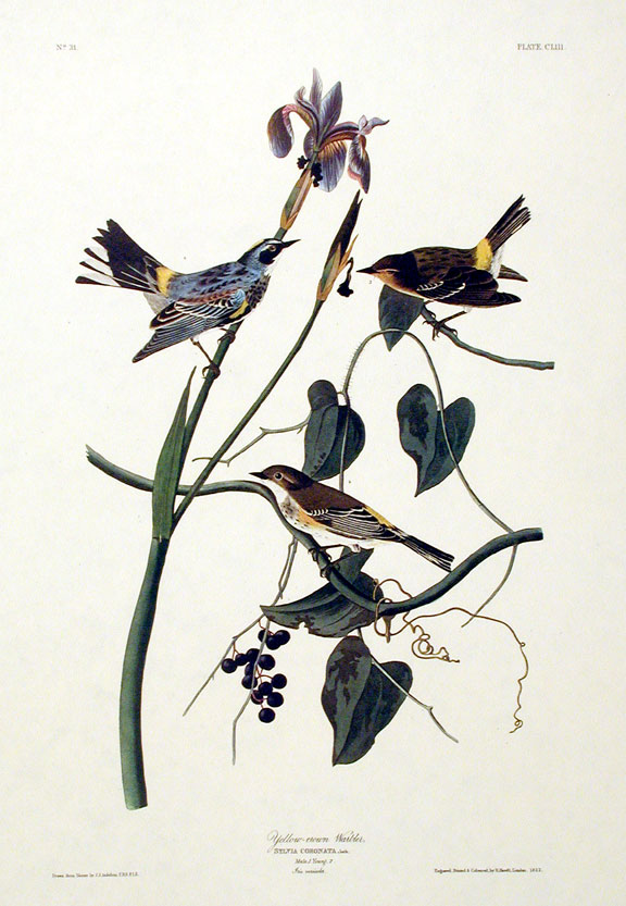 "Yellow-crown Warbler. From ""The Birds of America"" (Amsterdam Edition). John James AUDUBON."