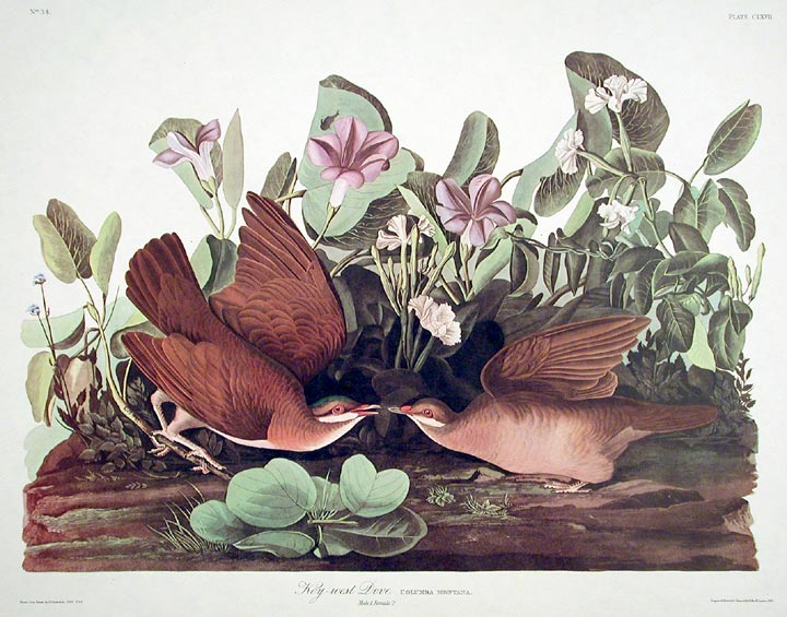 "Key West Dove. From ""The Birds of America"" (Amsterdam Edition). John James AUDUBON."