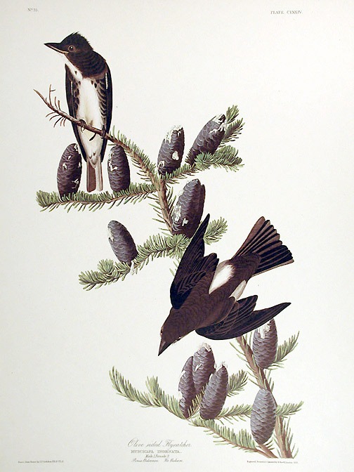 "Olive sided Flycatcher. From ""The Birds of America"" (Amsterdam Edition). John James AUDUBON."