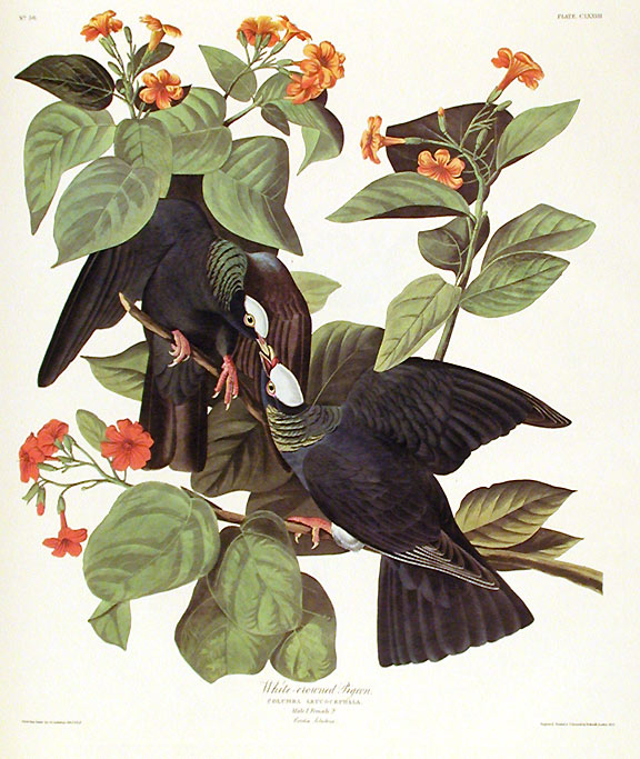 "White-crowned Pigeon. From ""The Birds of America"" (Amsterdam Edition). John James AUDUBON."