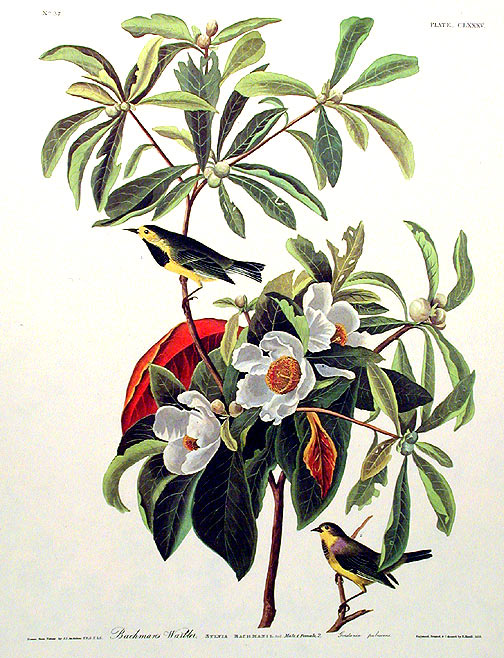 "Bachman's Warbler. From ""The Birds of America"" (Amsterdam Edition). John James AUDUBON."