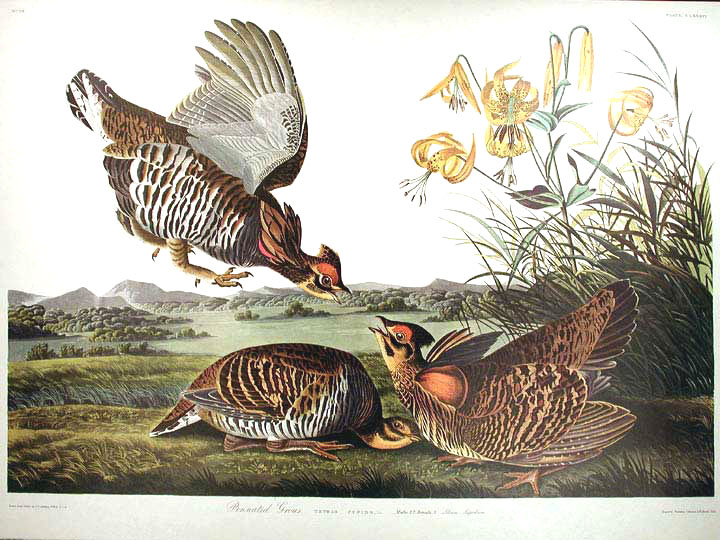 "Pinnated Grouse. From ""The Birds of America"" (Amsterdam Edition). John James AUDUBON."