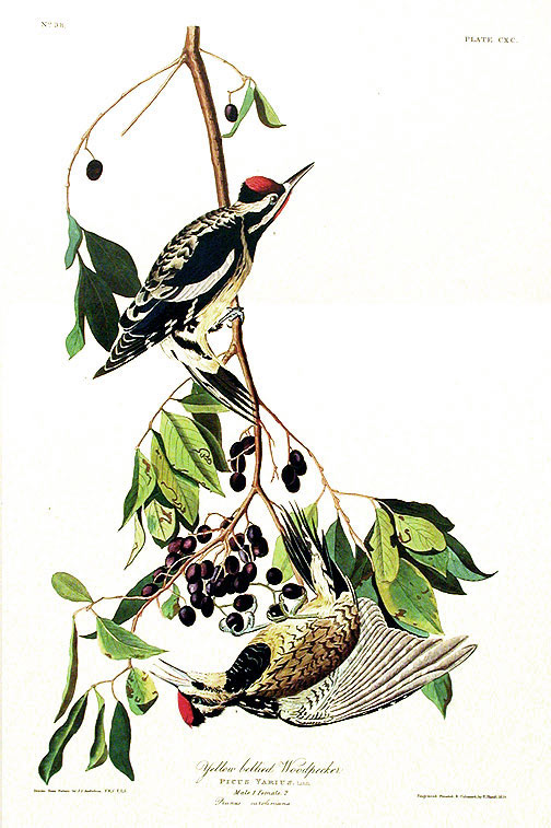 "Yellow-bellied Woodpecker. From ""The Birds of America"" (Amsterdam Edition). John James AUDUBON."