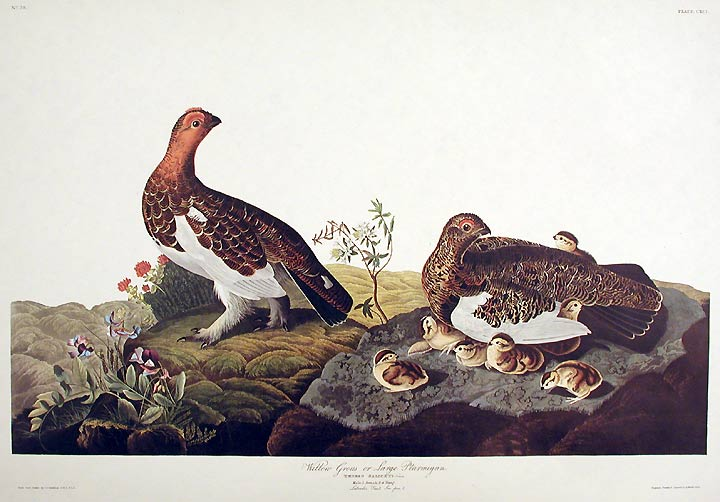 "Willow Grous or Large Ptarmigan. From ""The Birds of America"" (Amsterdam Edition). John James AUDUBON."