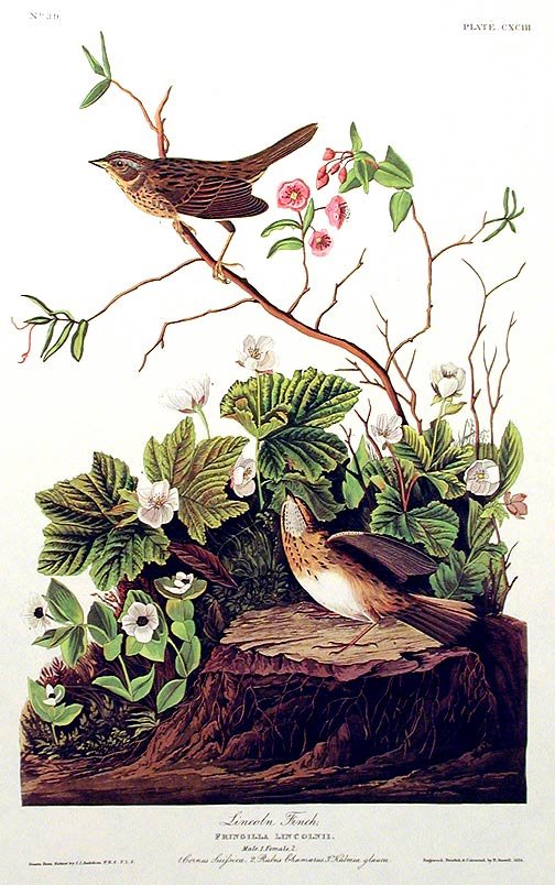 "Lincoln Finch. From ""The Birds of America"" (Amsterdam Edition). John James AUDUBON."