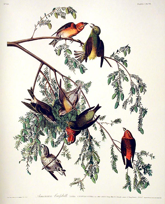 "American Crossbill. From ""The Birds of America"" (Amsterdam Edition). John James AUDUBON."