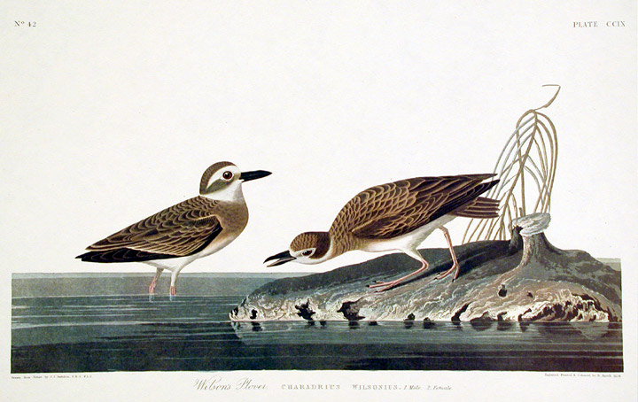 "Wilson?s Plover. From ""The Birds of America"" (Amsterdam Edition). John James AUDUBON."