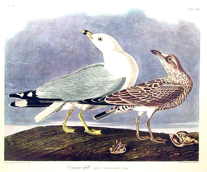 "Common Gull. From ""The Birds of America"" (Amsterdam Edition). John James AUDUBON."