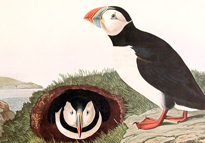 Puffin. From The Birds of America Amsterdam Edition | John ...