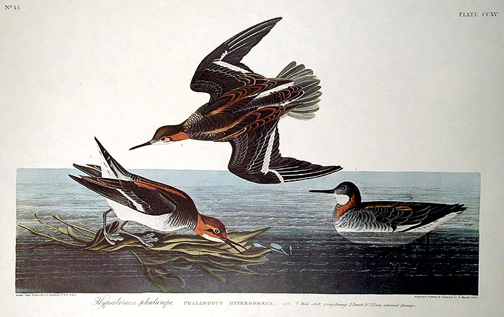 "Hyperborean Phalarope. From ""The Birds of America"" (Amsterdam Edition). John James AUDUBON."