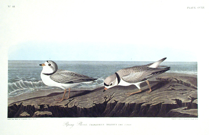 "Piping Plover. From ""The Birds of America"" (Amsterdam Edition). John James AUDUBON."
