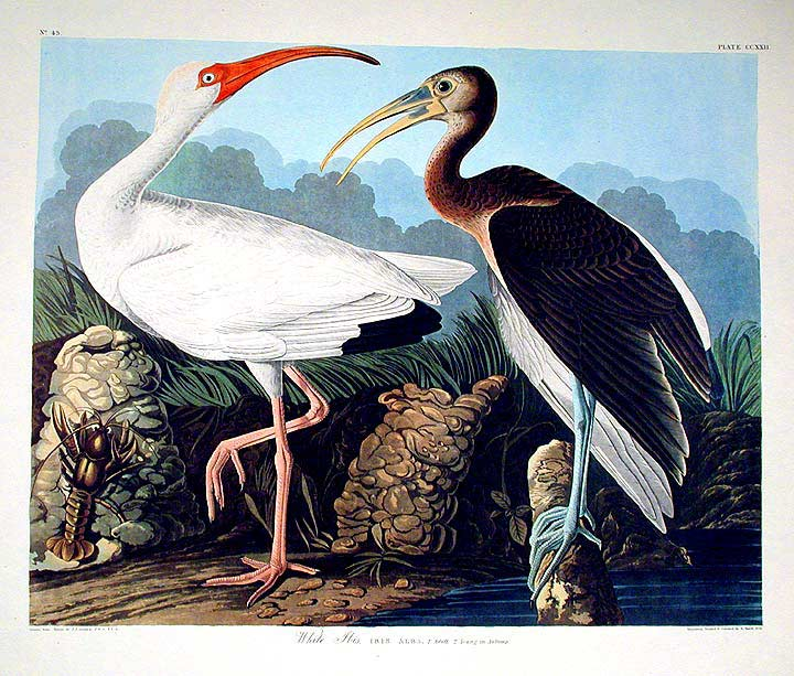 "White Ibis. From ""The Birds of America"" (Amsterdam Edition). John James AUDUBON."
