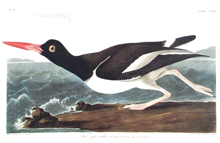 "Pied oyster-catcher. From ""The Birds of America"" (Amsterdam Edition). John James AUDUBON."