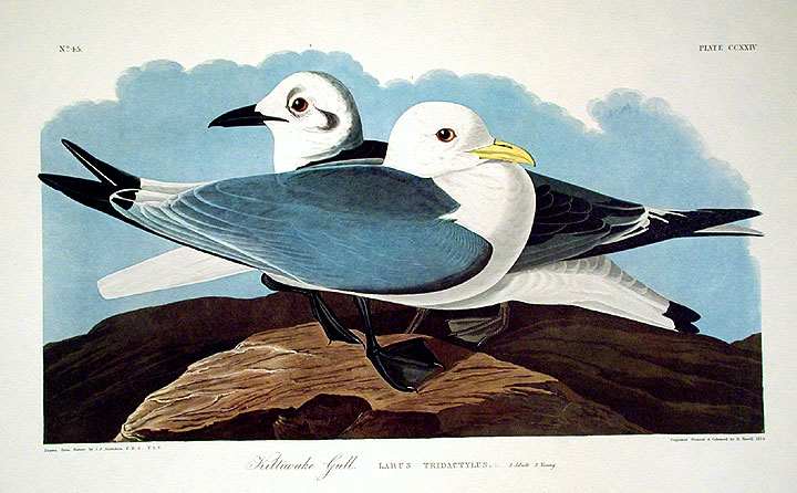 "Kittiwake Gull. From ""The Birds of America"" (Amsterdam Edition). John James AUDUBON."