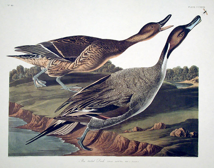 """Pin tailed Duck. From """"The Birds of America"""" (Amsterdam Edition). John James AUDUBON."""