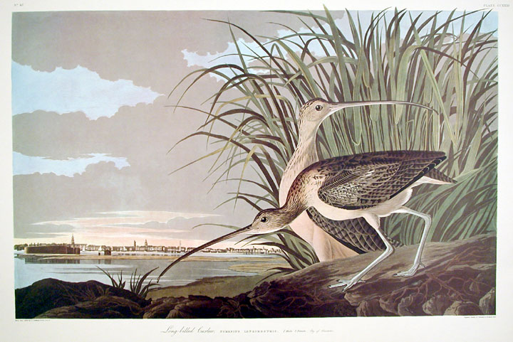 "Long-billed Curlew. From ""The Birds of America"" (Amsterdam Edition). John James AUDUBON."