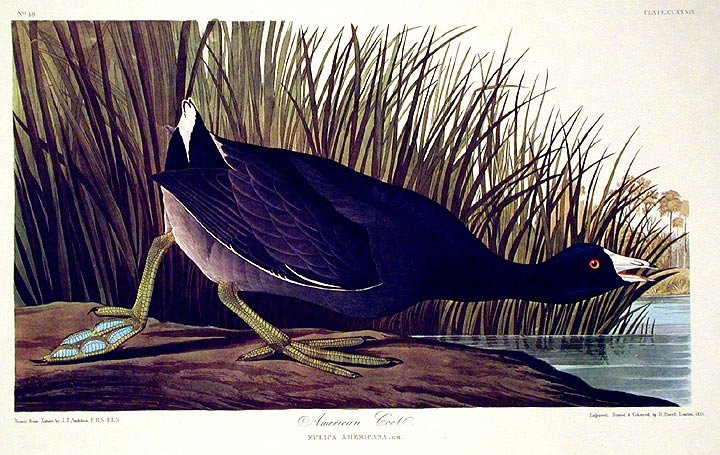 "American Coot. From ""The Birds of America"" (Amsterdam Edition). John James AUDUBON."