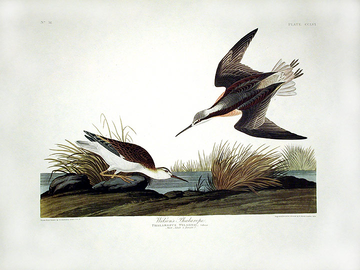 "Wilson's Phalarope. From ""The Birds of America"" (Amsterdam Edition). John James AUDUBON."