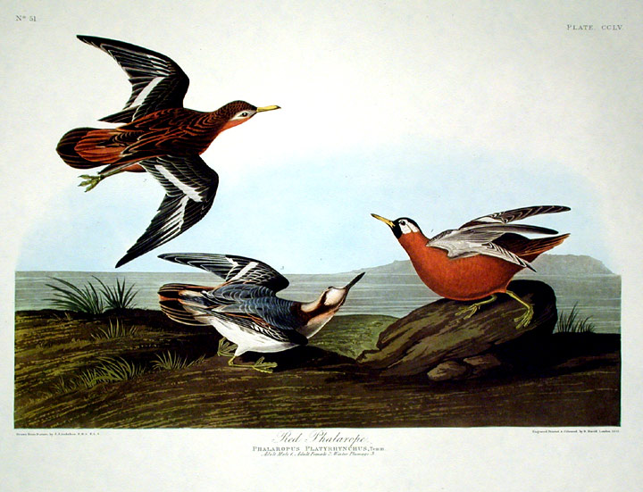 "Red Phalarope. From ""The Birds of America"" (Amsterdam Edition). John James AUDUBON."