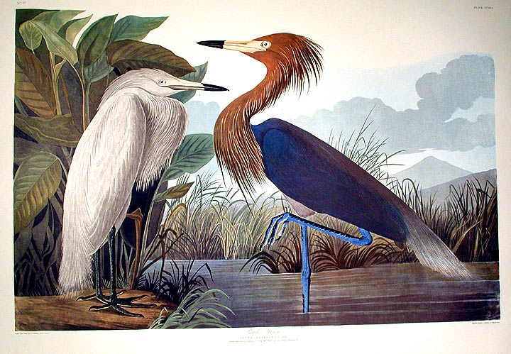 "Purple Heron. From ""The Birds of America"" (Amsterdam Edition). John James AUDUBON."