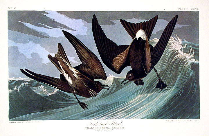 "Fork-tail Petrel. From ""The Birds of America"" pl. 260 (Amsterdam Edition). John James AUDUBON."