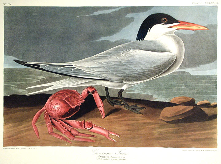 "Cayenne Tern. From ""The Birds of America"" (Amsterdam Edition). John James AUDUBON."