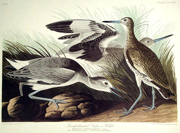 "Semipalmated Snipe or Willet. From ""The Birds of America"" (Amsterdam Edition). John James AUDUBON."