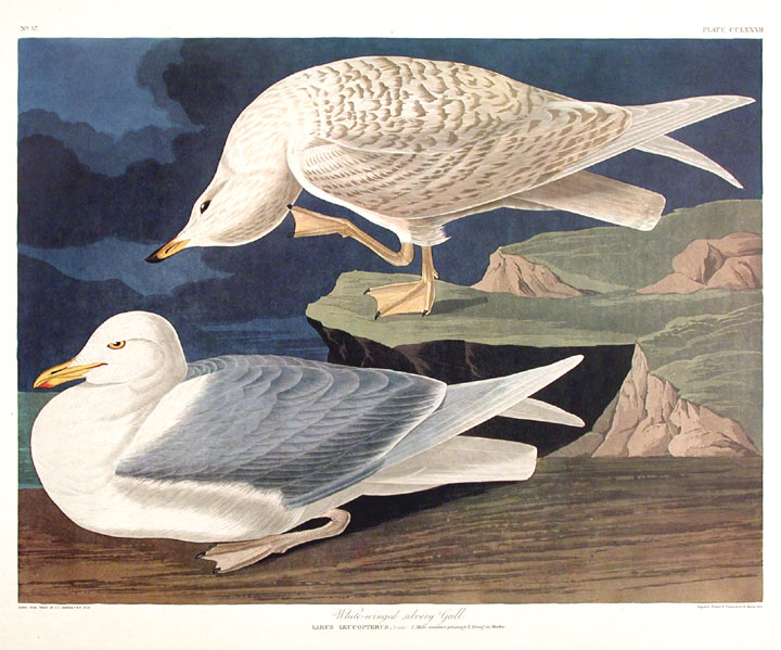 "White-winged Silvery Gull. From ""The Birds of America"" (Amsterdam Edition). John James AUDUBON."