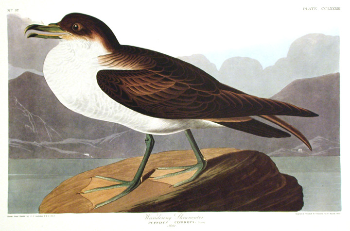 "Wandering Shearwater. From ""The Birds of America"" (Amsterdam Edition). John James AUDUBON."