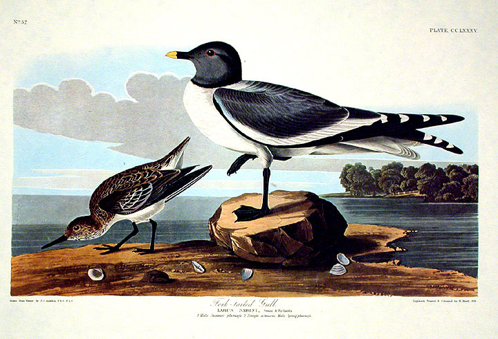"Fork-tailed Gull. From ""The Birds of America"" (Amsterdam Edition). John James AUDUBON."