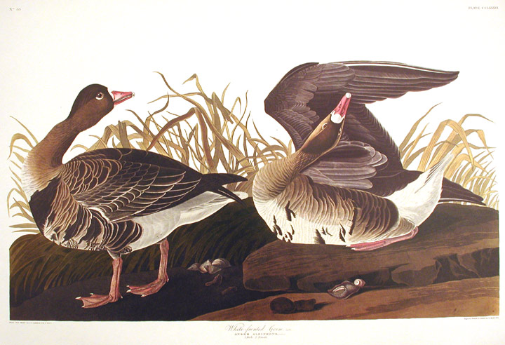 "White-fronted Goose. From ""The Birds of America"" (Amsterdam Edition). John James AUDUBON."