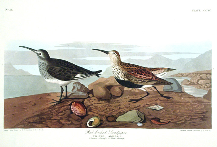 """Red-backed Sandpiper. From """"The Birds of America"""" (Amsterdam Edition). John James AUDUBON."""