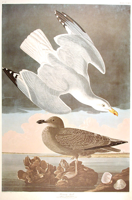 "Herring Gull. From ""The Birds of America"" (Amsterdam Edition). John James AUDUBON."