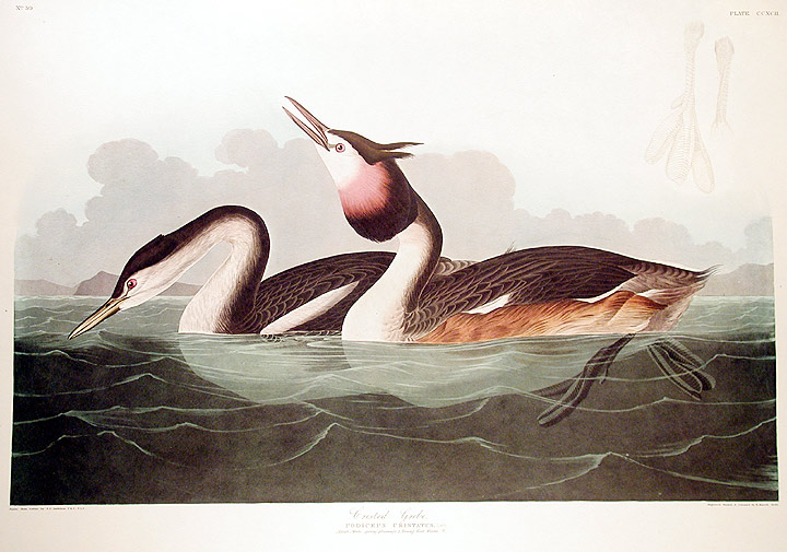 "Crested Grebe. From ""The Birds of America"" (Amsterdam Edition). John James AUDUBON."