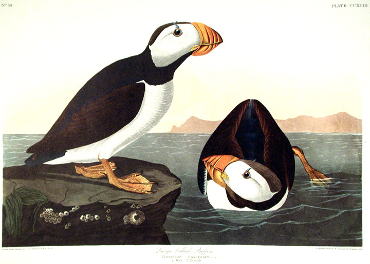 Large billed Puffin. From The Birds of America Amsterdam ...