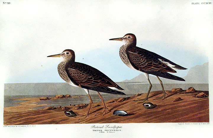 "Pectoral Sandpiper. From ""The Birds of America"" (Amsterdam Edition). John James AUDUBON."