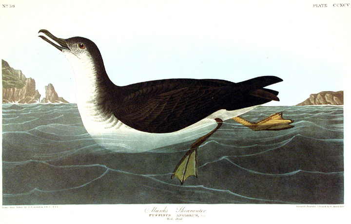 "Manks Shearwater. From ""The Birds of America"" (Amsterdam Edition). John James AUDUBON."