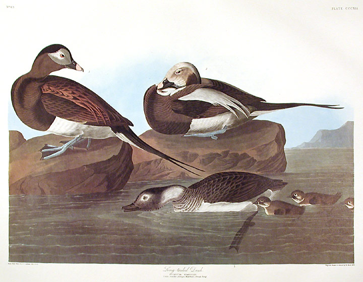"Long-tailed Duck. From ""The Birds of America"" (Amsterdam Edition). John James AUDUBON."