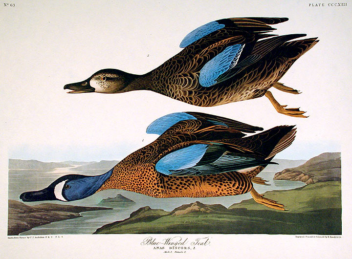 """Blue-Winged Teal. From """"The Birds of America"""" (Amsterdam Edition). John James AUDUBON."""