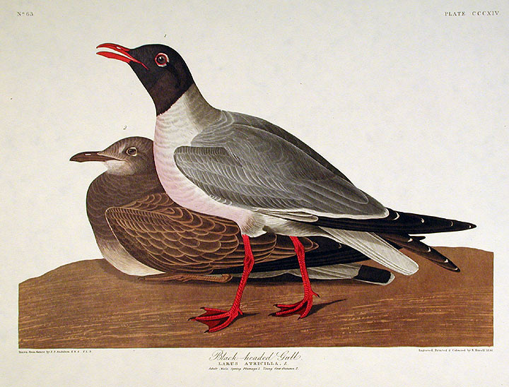 "Black-headed Gull. From ""The Birds of America"" (Amsterdam Edition). John James AUDUBON."