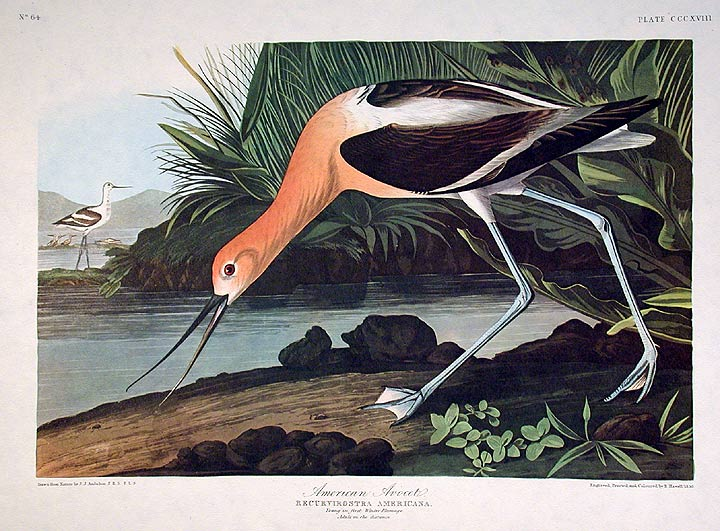 American Avocet From The Birds Of America Amsterdam Edition John James Audubon
