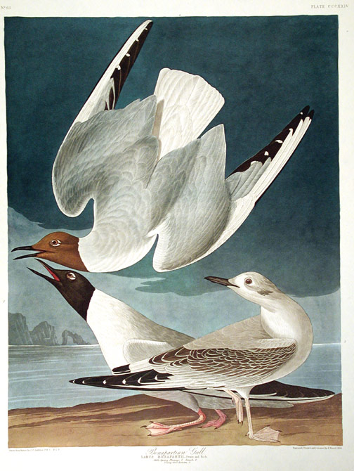 "Bonapartian Gull. From ""The Birds of America"" (Amsterdam Edition). John James AUDUBON."