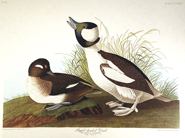 "Buffel-headed Duck. From ""The Birds of America"" (Amsterdam Edition). John James AUDUBON."