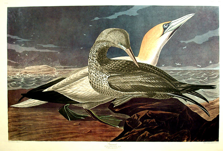 "Gannet. From ""The Birds of America"" (Amsterdam Edition). John James AUDUBON."