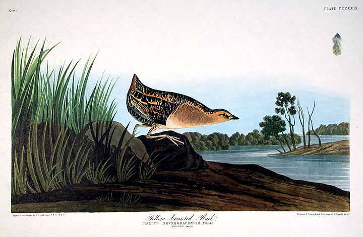 "Yellow-breasted Rail. From ""The Birds of America"" (Amsterdam Edition). John James AUDUBON."