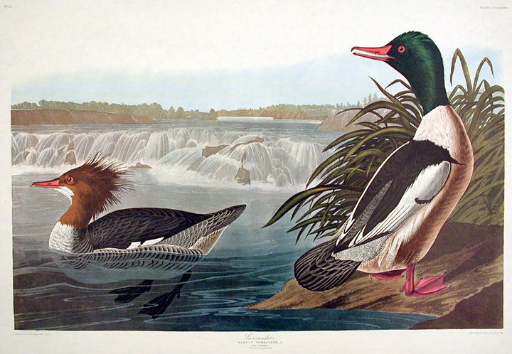 "Goosander. From ""The Birds of America"" (Amsterdam Edition). John James AUDUBON."