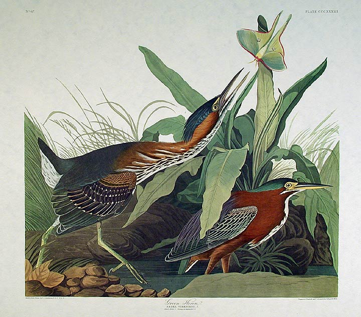 "Green Heron. From ""The Birds of America"" (Amsterdam Edition). John James AUDUBON."