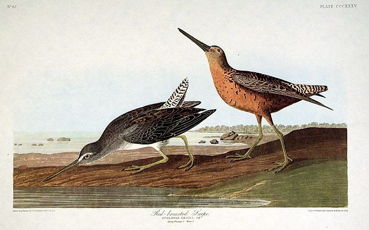 "Red-breasted Snipe. From ""The Birds of America"" (Amsterdam Edition). John James AUDUBON."