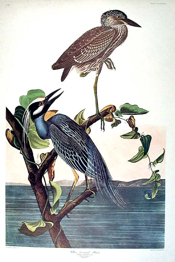 "Yellow-Crowned Heron. From ""The Birds of America"" (Amsterdam Edition). John James AUDUBON."